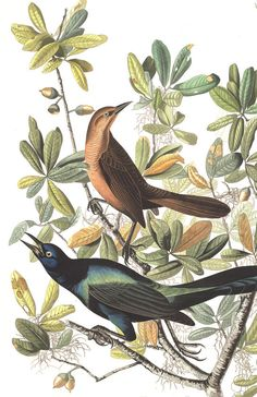 Boat-tailed Grackle from Audubon's Birds of America. hi-res print available to download for DIY art print.