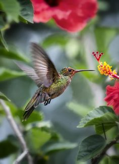 """Hummingbird ~ In Action.""                               (Photo By: Carlos Bermúdez on 500px.)"