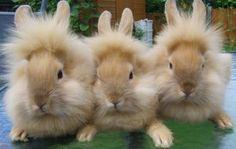 lion lop bunnies,