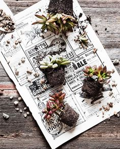 Oh hello! Many people tell me they cant grow succulents  but I know they can! Succulents basically need sunlight soil water and good drainage. New blog post up on a few great container ideas and tips on care (temporary link in profile ) . #sunday_sundries #kk_lrpresets #mystillsundaycompetition . .