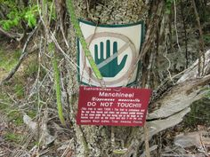 """This is the manchineel, known sometimes as the beach apple, or more accurately in Spanish-speaking countries as la manzanilla de la muerte, which translates to """"the little apple of death,"""" or as arbol de la muerte, """"tree of death."""" """"Warning: all parts of manchineel are extremely poisonous.  Interaction with and ingestion of any part of this tree may be lethal.""""  After all, it is this tree that is rumored to have killed the famed explorer, Juan Ponce de Leon."""