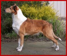 Smooth Collie dog photo | TALCOTT KENNELS - SMOOTH COLLIES