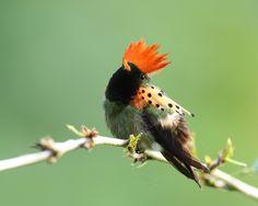 Beija-flor-de-leque-canela (Lophornis ornatus)
