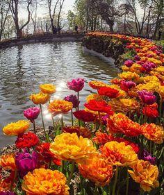 Beautiful tulips in Istanbul Turkey,🌷where tulips originated from. Beautiful Roses, Beautiful World, Beautiful Gardens, Beautiful Places, Wonderful Places, Love Flowers, Wild Flowers, Beautiful Landscapes, Flora