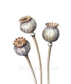 Pods of Papaver somniferum in watercolour. Botanical Tattoo, Botanical Drawings, Botanical Illustration, Botanical Prints, Azulejos Art Nouveau, Poppies Tattoo, Flower Clipart, Flower Doodles, Seed Pods
