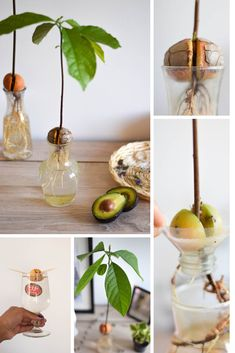 Transform an avocado pit into a pretty green plant # avocado Avocado Plant, Avocado Tree, Compost, Pretty Green, Green Plants, Garden Planters, Permaculture, Diy For Kids, Vegetable Garden