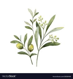 Watercolor Vector Bouquet Of Olive Branches And Flowers. Stock Vector - Illustration of background, blossom: 166838700 Plant Illustration, Botanical Illustration, Watercolor Illustration, Dove And Olive, Olive Plant, Olive Branch Tattoo, Branch Drawing, Wreath Drawing, Bouquet Tattoo