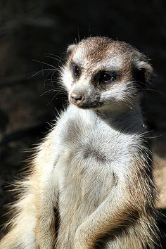 Meerkat at the Safari Park. Other names for meerkats include slender-tailed meerkat and African suricate. #meerkat #animal