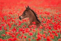— In the sea of red. arabian foal  bay   field poppy