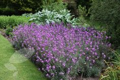 Erysimum 'Bowles Mauve'.  A fairly short lived shrub but it works so hard, flowering nearly all year long...
