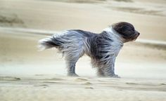 How windy is windy, lol! My dogs don't really like alot of wind. Cute Puppies, Cute Dogs, Dogs And Puppies, Doggies, Havanese Puppies, Sweet Animal, Animals Beautiful, Cute Animals, Beautiful Dogs