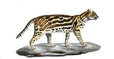 Ce #chat à collier est un résident de la #Ménagerie au 19e siècle. Sa taille dépasse d'un tiers celle des #chats domestiques les plus grandes; il mesure 65 cm du bout du museau à la queue et sa hauteur moyenne est de plus de 32 cm. Son pelage est d'un gris jaunâtre et d'un blanc pur aux parties inférieures ainsi que sur les joues. Toutes les taches principales le long des flancs et du dos sont longues et larges, irrégulières, et dirigées dans le sens de la longueur de l'animal #numelyo… Ainsi, Lyon, Gray, Lining Up, Cats, Animaux, Natural History, Stains