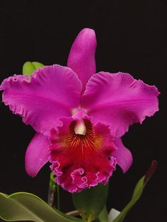 Blc. Norman's Bay 'Low's' FCC/AOS presented by Orchids Limited