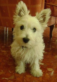 This will be our next dog (a westie). Steve thinks its name will be Tiger.