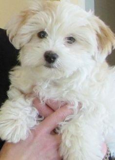 Havapoo (havanese x poodle mix) info, temperament, puppies, pictures Poodle Mix Puppies, Baby Puppies, Dogs And Puppies, Bichon Dog, Havanese Puppies, Bichon Frise, Havanese Grooming, Pet Dogs, Pets