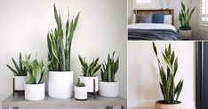 Everything About Growing Snake Plant Indoors! #aloeveraplantindoor Coffee Table Plants, Cool Coffee Tables, Aloe Vera Plant Indoor, Indoor Plants, Growing Hibiscus, Snake Plant Care, Kalanchoe Blossfeldiana, Growing Succulents, Jade Plants