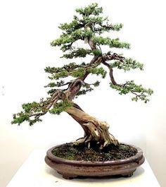 http://www.bonsaicentersopelana.com/2016/03/tosho-bonsai-apuntes.html