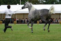 Zdjęcie numer 3 w galerii - Pół miliona euro za konia. Aukcja koni w Janowie Podlaskim [ZDJĘCIA]