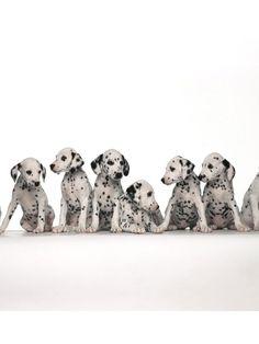 Simple Dalmation Chubby Adorable Dog - cef8f53d29d7acfc5463fd3c3a4a5eda--so-cute-pets  Gallery_99737  .jpg