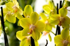 #orchids, #petals, #bulbs, #flowers, #yellow, #orange, #nature