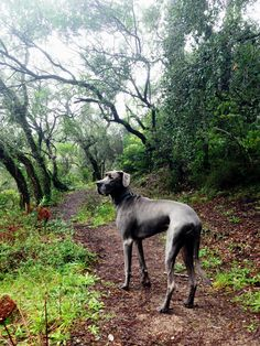 My hometown Sintra in Portugal has great walks in the mountain - and I go nearly everyday! #greatdane