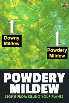 Learn how to prevent and treat powdery mildew with either home or professional remedies. Cure your garden of this annoying disease! Fall Vegetables, Organic Vegetables, Growing Vegetables, Veggies, Gardening Vegetables, Growing Plants, Powdery Mildew Treatment, Organic Gardening, Gardens