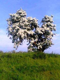 Hawthorn tree - Tara