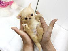 Teacup chihuahua, Chihuahuas and Chihuahua love on Pinterest