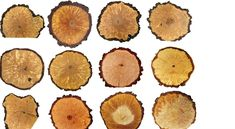 Curly Birch, furniture, veneer, custom knives Custom Knives, Birch, Curly, Texture, Wood, Crafts, Furniture, Tree Structure, Surface Finish