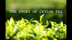 THE STORY OF CEYLON TEA - (MINERVA the documentary team production)