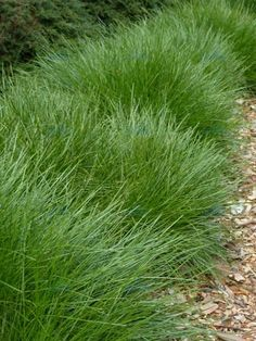 "Lomandra ""Breeze"" - tough and evergreen and flowy and gorgeous and won't be hurt by a basketball."