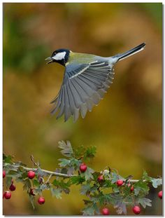 Amazing shot of a great tit - will you see any during your Big Garden #Birdwatch