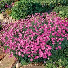 A hardy, evergreen variety valued equally for its masses of fresh pink flowers borne in June and for its dense, carpet-like foliage. The flowers. Dianthus Flowers, Flowers Perennials, Pink Flowers, Sweet William Flowers, Bristol Garden, White Flower Farm, Full Sun Perennials, Border Plants, Gardens