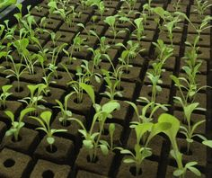 Oasis Cubes for growing in Hydro and AP systems