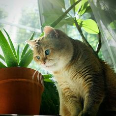 Hosico The Cat Is Pretty Much The RealLife Puss In Boots Cat - Hosico the cat is pretty much the real life puss in boots