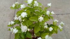 Keep JASMINE Plant in Bedroom to help reduce Anxiety, Panic and depression. Also can Diffuse Jasmine E. Plante Jasmin, Équilibrer Les Hormones, Natural Asthma Remedies, Natural Cures, Jasmine Essential Oil, Essential Oils, Jasmine Plant, Insomnia, Plants
