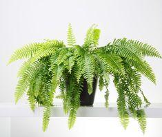A szobapáfrány (Nephrolepis exaltata) gondozása - CityGreen. Ferns Care, Cactus Plants, Indoor Plants, Plant Leaves, Garden, Flowers, Decor, Tropical Gardens, Plants