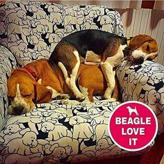 sleep like beagles