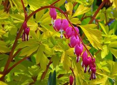 Gold Heart variety of Bleeding Heart (Dicentra spectabilis Gold Heart) offers pink flowers with vivid golden foliage
