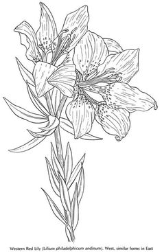Free coloring pages of arum lily Flower Coloring Pages, Coloring Book Pages, Red Lily, Motif Floral, Free Printable Coloring Pages, Colorful Pictures, Colorful Flowers, Wild Flowers, Flower Art