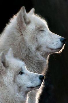 Sunrise - Wolf couple!