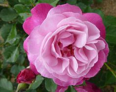 China or Bourbon Rose: Rosa 'Sophie's Perpetual' (unknown origins, before 1922)