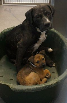 05/22/16 MOM STILL THERE!!!  PUP ADOPTED... Left Mama Behind!!!   DALLAS, TEXAS ID# A932398 + 1 puppy (A932399) Mom 4 years 60.2 pounds 3/22/16 Issue: Treated for sarcoptic mange DASrescue@dallascityhall.com Adopters contact the Adoptions Desk at 214-671-0249 https://www.facebook.com/DASUrgents/photos/a.868002109974810.1073741867.572099149565109/868007953307559/?type=3&theater