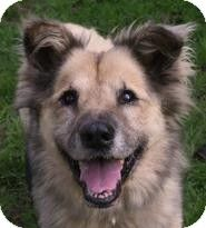 New Freedom, PA - Chow Chow Mix. Meet Blue, a dog for adoption. http://www.adoptapet.com/pet/10551132-new-freedom-pennsylvania-chow-chow-mix