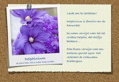 Short story of Delphinium. Het verhaal van... zomerbloemen.