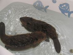 I once saw a video of baby beavers swimming in a sink. I almost passed out from cuteness overload. Like Animals, Cute Little Animals, Nature Animals, Baby Animals, Funny Animals, Adorable Animals, Spirit Animal Tattoo, Baby Beaver, Animal Magic