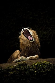 Epic Lion Yawn IMG_3920 20080906 PAD by efroten on Flickr.