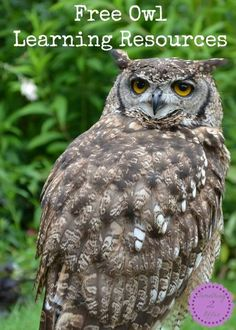 Free Owl Learning Resources-Who? Who? Wants to learn more about OWLS! If you like birds then you will love learning about owls. My middle son, Big Red, recently got very interested in birds and owls after a local nature program through our county parks.