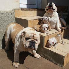 Meet the Bacons! Sunday morning photo. #englishbulldog #Padgram #buldog