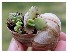 Mini jardim de suculentas em conchinha de caramujo... Para cultivar, falta de espaço não é problema! (: Instruções sobre como fazer: http://radmegan.blogspot.com.br/2012/01/miniature-gardens-shell-potted.html